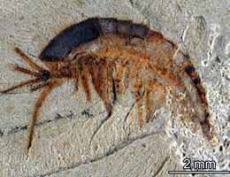 Stage-specific feeding strategies - 520 million years ago